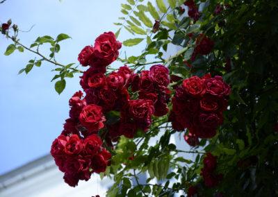 rose1080