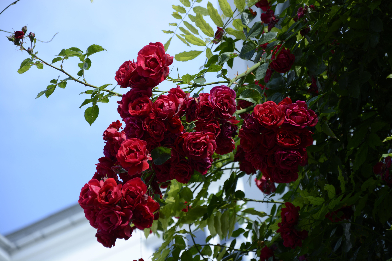 rosefull
